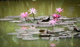 开花在池塘的莲花 库存图片