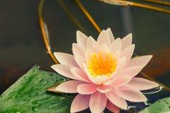开花在池塘的莲花 图库摄影