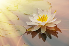 开花在池塘的莲花 免版税图库摄影