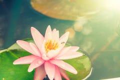 开花在池塘的莲花 免版税库存图片