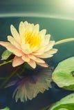 开花在池塘的莲花 免版税库存照片