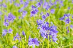 开花在沼泽的Monochoria vaginalis紫色花有选择性 免版税图库摄影