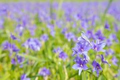 开花在沼泽的Monochoria vaginalis紫色花有选择性 免版税库存图片