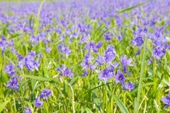 开花在沼泽的Monochoria vaginalis紫色花有选择性 免版税库存照片