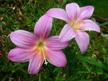开花在泰国的雨季的地面的浅粉红色的lilly雨花 库存照片