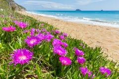 开花在海岸的桃红色冰柱植物在希腊 库存图片