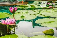 开花在湖表面的桃红色荷花 免版税库存照片