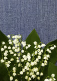 开花在牛仔裤背景的铃兰 背景细部图花卉向量 背景构成旋花植物空白花的郁金香 图库摄影