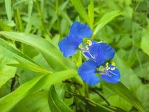开花在狂放的惊人的蓝色颜色白天花 库存照片