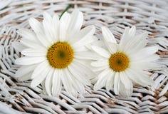 开花在白色篮子的春黄菊 库存照片