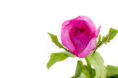 开花在白色背景的一朵美丽的桃红色玫瑰 库存照片