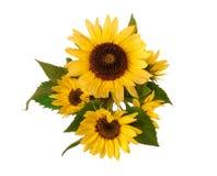 开花在白色背景的向日葵 库存图片