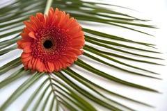 开花德兰士瓦雏菊和叶子 免版税库存照片