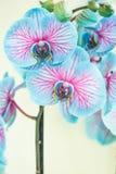 开花在白色背景的自然`蓝色和桃红色兰花`奇迹 免版税库存照片