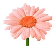 开花在白色背景隔绝的珊瑚橙色雏菊 特写镜头 免版税库存照片
