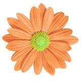 开花在白色背景隔绝的珊瑚黄色雏菊 特写镜头 免版税库存照片