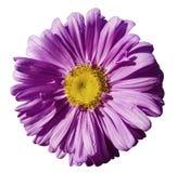 开花在白色被隔绝的背景的紫色春黄菊与裁减路线 雏菊紫罗兰色黄色与小滴设计的水 C 库存图片