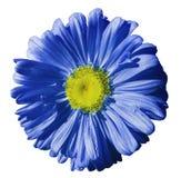 开花在白色被隔绝的背景的蓝色春黄菊与裁减路线 雏菊青黄色与小滴设计的水 关闭 免版税库存图片