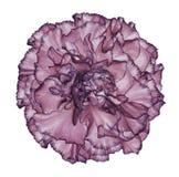 开花在白色被隔绝的背景的青紫罗兰色康乃馨与裁减路线 特写镜头 没有影子 对设计 图库摄影