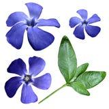 开花在白色被隔绝的背景的蓝色与裁减路线 特写镜头 没有影子 在视图之上 侧视图 绿色叶子 库存照片