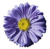 开花在白色被隔绝的背景的紫罗兰色春黄菊与裁减路线 雏菊紫色黄色与小滴设计的水 库存图片