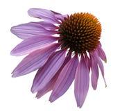 开花在白色被隔绝的背景的紫色春黄菊与裁减路线 雏菊紫罗兰色橙色为设计 特写镜头没有阴影 免版税库存照片