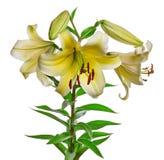 开花在白色隔绝的百合 免版税库存图片