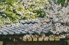 开花在盛开,桃红色和白色背景中的樱桃 免版税库存图片