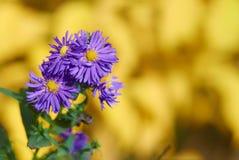 开花在秋天多年生植物翠菊的装饰庭园花木 免版税库存照片
