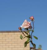 开花在秋天的光彩的浪漫美丽的苍白橙红色充分地吹的玫瑰 免版税库存图片