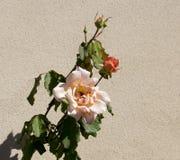开花在秋天的光彩的浪漫美丽的苍白橙红色充分地吹的玫瑰 免版税库存照片