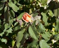 开花在秋天的光彩的浪漫美丽的苍白橙红色充分地吹的玫瑰 库存照片