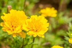 开花在秋天的黄色菊花 库存图片