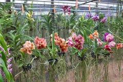 开花在篮子的五颜六色的兰花在兰花农场,泰国 免版税库存照片