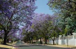 开花在约翰内斯堡街道的兰花楹属植物树  图库摄影