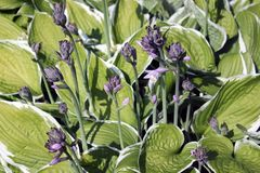 开花在绿色叶子的玉簪属植物精美开花的开花 免版税库存照片