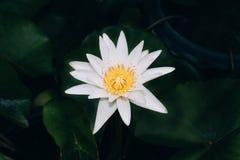 开花在绿色背景中的夺目的美丽的白莲教花 免版税库存照片
