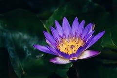 开花在绿色背景中的夺目的美丽的紫色莲花 免版税库存图片