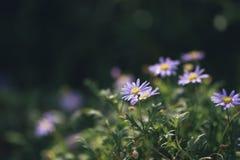 开花在绿色背景中的美丽的百日菊属花中意的神色  免版税库存照片