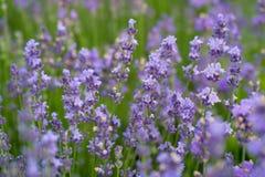 开花在绿色领域的淡紫色花 自然conce秀丽  免版税库存图片