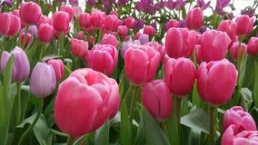 开花在罗勇府,泰国的郁金香 库存图片