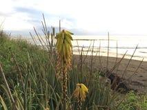 开花在考艾岛海岛上的Waimea的剑叶兰厂在夏威夷 库存照片