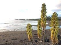 开花在考艾岛海岛上的Waimea的剑叶兰厂在夏威夷 免版税库存图片