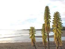 开花在考艾岛海岛上的Waimea的剑叶兰厂在夏威夷 库存图片