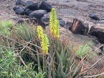 开花在考艾岛海岛上的Waimea的剑叶兰厂在夏威夷 免版税图库摄影