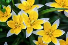 开花在自然本底的(郁金香Tarda,晚郁金香)庭院里的黄色和白色郁金香 免版税图库摄影