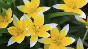 开花在自然本底郁金香的Tarda,晚郁金香庭院里的黄色和白色郁金香 美丽的花束郁金香 五颜六色 影视素材