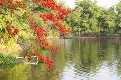 开花在自然背景中的红色孔雀花 (石莲子pu 免版税库存照片