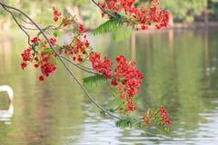 开花在自然背景中的红色孔雀花 (石莲子pu 免版税图库摄影