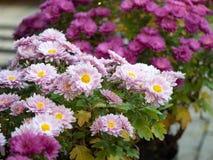 开花在花圃里的桃红色和淡紫色菊花,关闭看法 背景细部图花卉向量 延命菊开花 冠 免版税库存图片